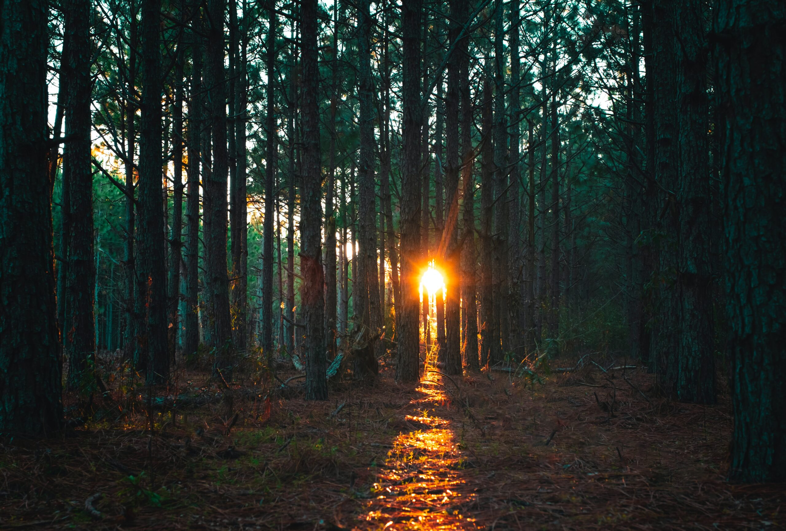 Sunlight through tall trees forest